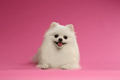 Closeup Portrait of White Spitz Dog on Colored Background Stock Photos