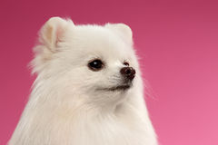 Closeup Portrait of White Spitz Dog on Colored Background Stock Images