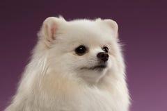 Closeup Portrait of White Spitz Dog on Colored Background Royalty Free Stock Image
