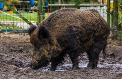 Closeup portrait of a wild boar in the mud, Widely spread animal through out the world. A closeup portrait of a wild boar in the mud, Widely spread animal royalty free stock photography