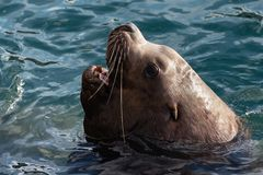 Close up portrait of wild Steller Sea Lion Eumetopias Jubatus with wide open mouth in cold waves Pacific Ocean stock images