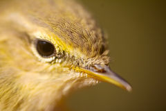 Closeup portrait of  willow warbler (Phylloscopus trochilus). Royalty Free Stock Photography