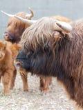 Closeup portrait of a yak Stock Photo