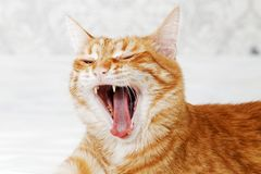 Closeup portrait of yawning ginger cat. On light blurred background. Shallow focus Royalty Free Stock Photo
