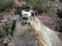 Closeup of a Yellow Bellied Marmot Stock Photo