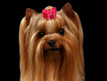 Closeup Portrait Yorkshire Terrier Dog on Black Stock Photography