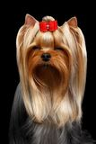 Closeup Portrait Yorkshire Terrier Dog on Black Royalty Free Stock Photography