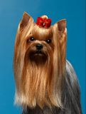 Closeup Portrait Yorkshire Terrier Dog on Blue Royalty Free Stock Photos