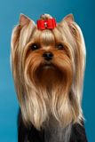 Closeup Portrait Yorkshire Terrier Dog on Blue Royalty Free Stock Photo