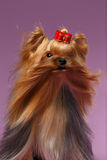 Closeup Portrait Yorkshire Terrier Dog with fan on Purpure Royalty Free Stock Photos