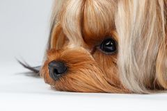 Closeup Portrait Yorkshire Terrier Dog Lying on White Stock Images