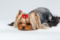 Closeup Portrait Yorkshire Terrier Dog Lying on White Stock Image