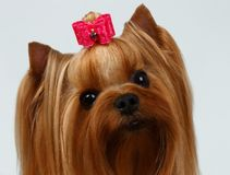 Closeup Portrait Yorkshire Terrier Dog on White Royalty Free Stock Images
