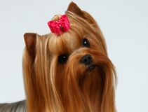 Closeup Portrait Yorkshire Terrier Dog on White Stock Images