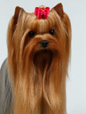 Closeup Portrait Yorkshire Terrier Dog on White Royalty Free Stock Photos