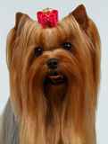 Closeup Portrait Yorkshire Terrier Dog on White Stock Photography