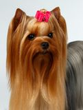 Closeup Portrait of Yorkshire Terrier Dog on White Royalty Free Stock Photos