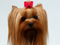 Closeup Portrait of Yorkshire Terrier Dog on White Stock Image