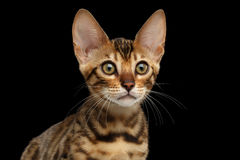 Closeup Portrait of Young Bengal Kitty on Isolated Black Background Royalty Free Stock Image