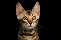 Closeup Portrait of Young Bengal Kitty on Isolated Black Background Stock Photography