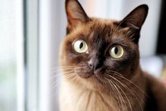 A closeup portrait of young burmese cat. A closeup portrait of young chocolate burmese cat royalty free stock images