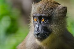 Closeup portrait of young drill monkey in rain forest of Nigeria, Afi Mountain Drill Ranch Royalty Free Stock Image