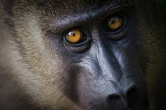 Closeup portrait of young drill monkey in rain forest of Nigeria Stock Photos