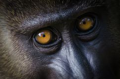 Closeup portrait of young drill monkey in rain forest of Nigeria Royalty Free Stock Photo
