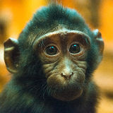 Closeup portrait of a young monkey Royalty Free Stock Photography