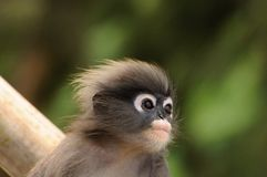 Closeup portrait of young wild dusky langur, dusky leaf monkey, spectacled langur, spectacled leaf monkey in Thailand stock photo