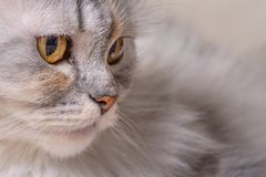 Closeup Portriat of cat on brown sofa background stock photo