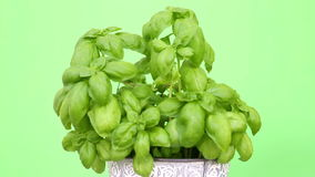 Closeup of pot with basil on rotating plate with green background stock video footage