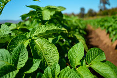Closeup potato crop. Closeup farm of fresh potato crop Royalty Free Stock Photography