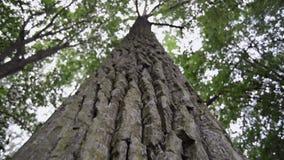 Powerful tree bark. Closeup of powerful tree bark, camera moving up along trunk stock video