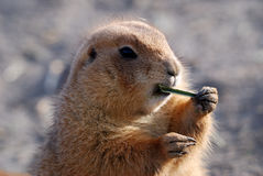 Closeup of a prairie dog Stock Images