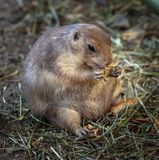 Prairie dog eating Stock Images