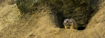 Closeup of a prairie dog looking out of his hole, animal home, tropical rodent from America stock photo