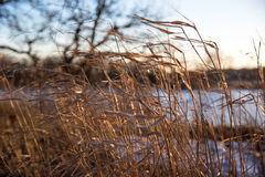 Closeup of prairie grass in cold breeze of winter. Soft focus of wild nature meadow golden grasses blowing in the wind next to lake royalty free stock photos