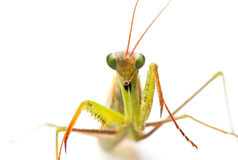 Closeup of praying mantis Stock Image