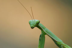 Closeup of Praying Mantis - Stock Photos