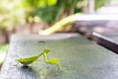 Closeup of a praying mantis Royalty Free Stock Images