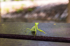 Closeup of a praying mantis Royalty Free Stock Photo