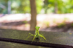 Closeup of a praying mantis Stock Image