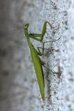 Closeup of a Praying Mantis Stock Images