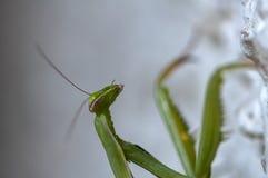 Closeup of a Praying Mantis Royalty Free Stock Images