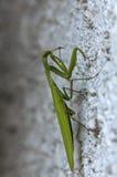 Closeup of a Praying Mantis Royalty Free Stock Photos
