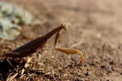 Closeup of a Praying Mantis. Royalty Free Stock Image