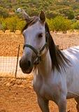 Closeup of precious white mare. 2 Stock Photo