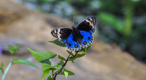 A closeup pretty Blue butterfly Royalty Free Stock Photo