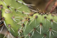 Closeup of a prickly pear cactus Opuntia royalty free stock image